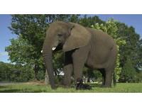 狗狗閃開讓專業的來! 美軍發現大象可偵測炸彈