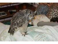南非一隻貓頭鷹連續4年帶著「大禮」送給一戶家庭,禮物包括老鼠、蛇、小鳥等等獵物,原因是這戶人家的男主人曾經救過牠一命,還悉心照顧牠直到傷口復元。從那之後,貓頭鷹便經常回來探望他,而且不只男主人有禮物,連他家的寵物貓也有一份!(圖/thechive.com)