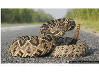 雌響尾蛇體內「留精」5年 生下19隻蛇寶寶