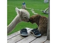 「草泥馬」羊駝跟貓一起長大 以為自己是隻貓!