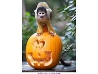 動物園南瓜大放送 狐獴、猴子開心過萬聖節