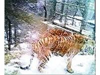濟南景區虎群圍攻遊覽車 虎掌撲掉擋風玻璃!