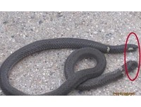 湖北驚見「雙頭蛇」 首尾各一個頭