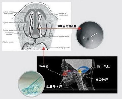 接收費洛蒙的部位,就靠位在鼻腔內的兩個細小犁鼻器。