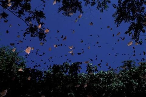 /取自茂林国家风景区官网)-茂林双年赏蝶10月登场 百万只紫斑蝶灿