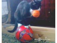 黑白貓表演馬戲團把戲 站在大球、嘴上又叼小球
