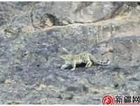 「雪山之王」獵山羊!新疆拍到罕見雪豹捕食照