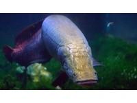 巨骨舌魚鱗片可抗食人魚啃咬 科學家擬製彈性鱗甲