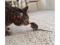 貓咪「佛心來著」不殺老鼠 還嘗試近距離接觸