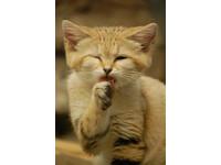 超可愛國字臉「沙漠貓」 吃蛇和蜥蜴當食物