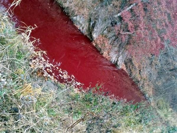 血水染紅河川!南韓防非洲豬瘟撲殺4.7萬頭豬 屍堆卡車污水狂流