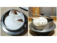 鍋當床、番薯變枕頭 貓咪「小白」睡姿讓冬夜暖了起來