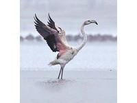 「火烈鳥」突訪新疆 紅羽如浴火鳳凰