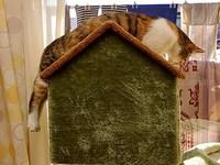 貓咪版「史奴比」 攤在小窩屋頂上懶洋洋