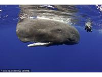 攝影師與抹香鯨共游 拍到噴屎奇景!