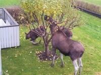 瑞典麋鹿大搞3P性愛 住家後院上演真實春宮秀