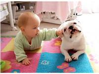 憨憨鬥牛犬變「家教」 教寶寶向前爬