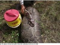佛州捕獲駭人巨蟒 腹中有隻35公斤母鹿