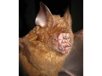 越南「醜鼻蝠」超嚇人 用爛鼻子迴聲定位捕獵物《ETtoday 新聞雲》