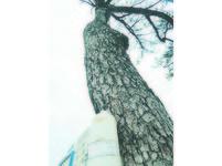 花蓮2樹相依百年 榕染病死樹醫把脈救松
