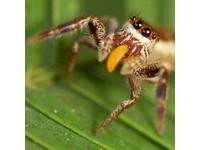 惹不起就躲!吃素蜘蛛「吉卜林巴希拉」混充螞蟻搶樹葉