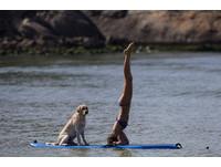 最佳衝浪拍檔!巴西女做瑜珈暖身 拉不拉多淡定休息