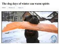 拉布拉多「摩根」不畏風雪 堅持每早叼來晨報給主人