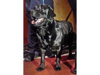 打破紀錄!拉布拉多連續23年奪下美國「狗王」寶座