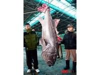 才抓巨型魷魚 釜山又捕獲170公分「巨大鱸魚」