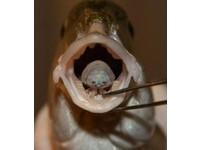 「外星寄生蟲」入侵地中海 鯛魚舌上吸血