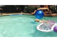 小狗水中耍懶「不沾水上岸」 跳上拉不拉多背搭狗車
