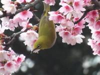 榕樹學堂快訊(2/7)/番泉內閒金魚 (天母最新鳥動態)