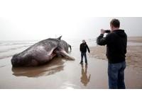 10公尺抺香鯨海灘擱淺 埋了牠得用上30噸沙!