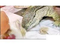 拍活兔餵巨蜥 男大生PO網遭肉搜