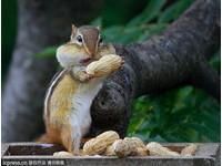給你吃!花栗鼠向攝影師獻花生 變卦塞進自己嘴巴