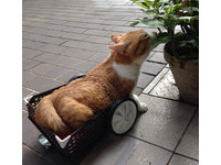 癱瘓貓後腿來不及長大 靠愛心輪椅能自己走去吃飯了