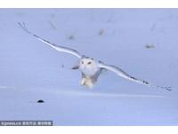 這是什麼魔法? 大批雪鴞入侵安大略機場