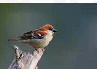 山麻雀數量驟減!傳統棲地僅1、2隻個體甚至絕跡