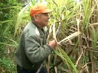 新竹80歲獨臂失明「甘蔗伯」 生意差靠老人年金過活