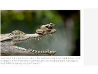 藝高蛙膽大!印尼鱷魚捕食 青蛙扒著牠的鼻尖死裡逃生