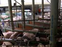 限制毛豬價競爭!屏東家畜公會遭罰30萬