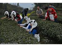 天價!用貓熊糞便種植 「熊貓茶」500公克108萬元