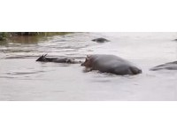 一腳把鱷魚踩進水底 大河馬救小牛羚「全程護送上岸」