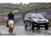 油價飆漲沒差!重慶老翁騎豬代步 省錢又環保