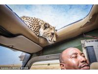 小獵豹探頭進天窗 離人頭只有幾寸距離