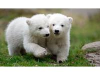 可愛到讓人融化! 德國超萌北極熊雙胞胎首度亮相