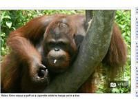 遊客好玩亂丟菸 印尼猩猩「奇諾」模仿抽上癮
