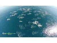 壯觀!無人機拍到上千海豚大奔逃、灰鯨家族遷徙