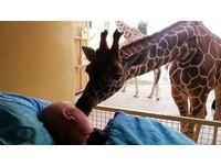 長頸鹿的最後吻別! 彌留的動物園員工迴光返照