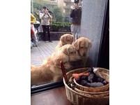 「我們想要小貓朋友。」4隻黃金獵犬擠在櫥窗邊看小貓